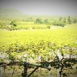 Hua Hin Hill Vineyard